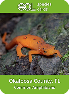 Okaloosa common amphibians