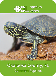 Okaloosa common reptiles